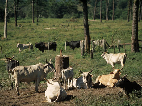 deforestation-overview-cattle-ranchingHI_51682.jpg